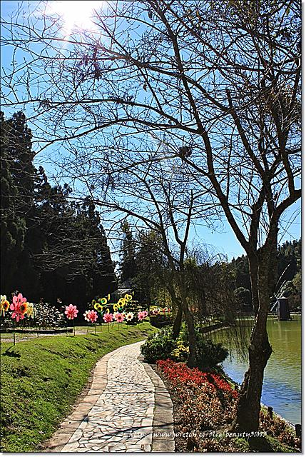 美麗的落羽松步道-清境小瑞士花園