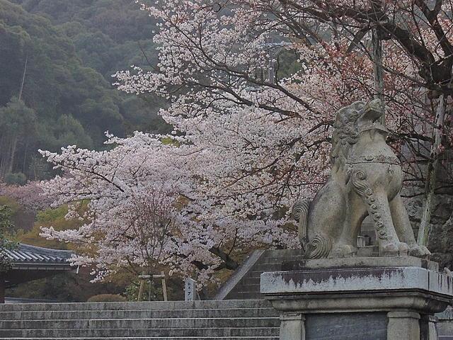 2013京阪瘋賞櫻