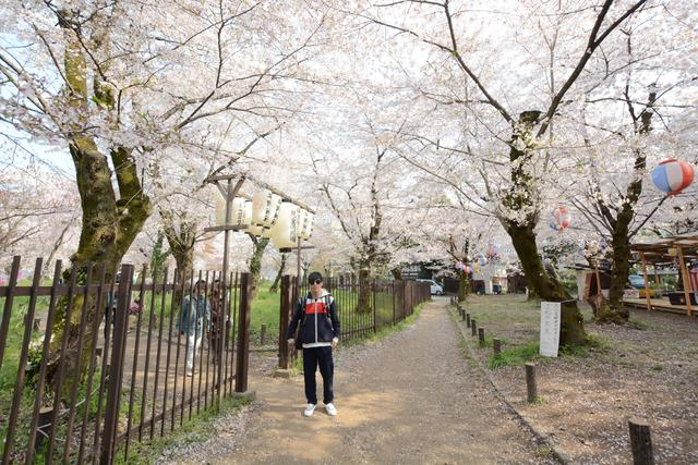 京都赏樱路线分享